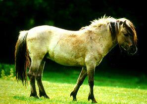 حصان التّاربان.... tarpan.jpg